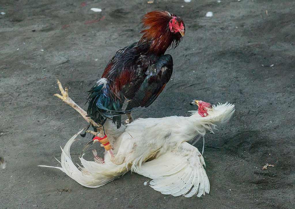 fighting chicken